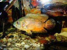 Aquarium The oscar fish from the cichlid hybrid between different types . Cute Animal Quotes, Cute Animal Videos, Cute Animal Drawings, Cartoon Drawings, Cute Baby Animals, Animals And Pets, Coral Wallpaper, Oscar Fish, Baby Horses