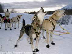 See The Iditarod--DONE!  One of the best things I have ever seen!