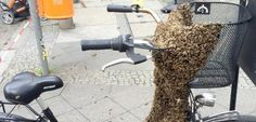 Polizeieinsatz: Bienen bevölkern Fahrrad in Berlin - SPIEGEL ONLINE - Nachrichten - Wissenschaft