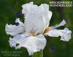 TB Iris germanica 'Breckenridge Wonderland' (Nichols, 2009)