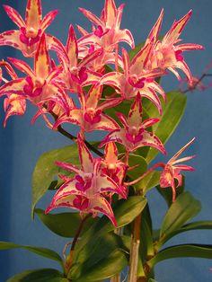 Dendrobium Zip Zinger, via Flickr.