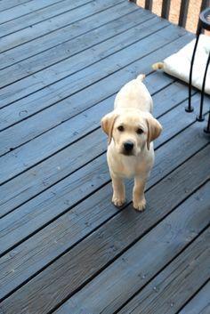 Puppy Yellow Labrador Labradorretriever Labradorpuppyyellow Labrador Retriever Labrador Puppy Labrador