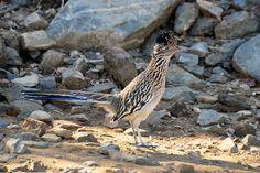 Greater Roadrunner | Roadrunner, Geococcyx californianus, in Paradise Valley, Arizona | Flickr - Photo Sharing!