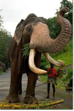LOOKS KINDA BEAUTIFUL...TILL YOU LOOK AT THE CHAINS AROUND HIS NECK... NOT SO BEAUTIFUL FOR HIM.    Beast of Burden. We have to give them their own future! #ivoryforelephants #stoppoaching #elephants for #ivory ! #animals