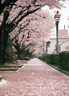 sakura, Janpan. Dreamland travel #photography #travel