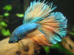 FishLore.com Aquarium Fish