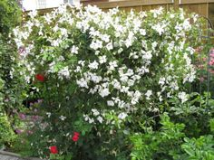 Absolutely love this clematis - 'Alba Luxurians' - flowers start out with green edges and then turn white. Has been hardy for us in Zone 3 believe it or not.