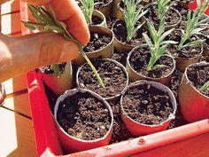 vermehren Stecklinge von Lavendel selber züchten – Schritt 5 von Vermehren Knud Frederik Rasmus Vermehren (December 1890 – January was a Danish gymnast who competed in the 1920 Summer Olympics. He was part of the Danish team, which was Herb Garden Design, Backyard Garden Design, Vegetable Garden Design, Vegetable Gardening, Diy Garden, Garden Care, Growing Lavender, Growing Herbs, How To Propagate Lavender
