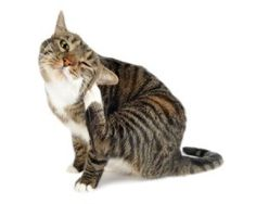 Fleas in cats. They're hard to see on cats but they can cause so much havoc. Even indoor cats can get fleas. This article explains the facts about fleas and flea control. Sphynx, Cat Skin Diseases, Homemade Flea Spray, Cat Skin Problems, Health Problems, Flea Powder, Flea Spray For Cats, Flea Remedies, Natural Remedies