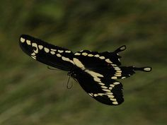 I hope these come back this year.  (Giant Swallowtail)