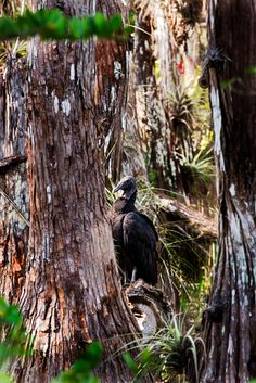 Pics from a short family drive through the Everglades. Turkey Vulture