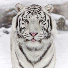 Siberian Tiger                                                       …
