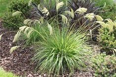 Chinonochloa Flavicans, miniture toi toi, New Zealand native Small Front Gardens, Back Gardens, Light Purple Flowers, Small Flowers, Valley Nursery, Garden Pool, Garden Plants, Plant Nursery, Clematis