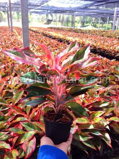 What Is The Background Of Aglaonema Plants Chinese
