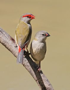 Red-browed Finch (Neochima temporallis) is an estrilid finch that inhabits the east coast of Australia.