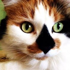 This breathtaking cat has the most unique diamond-shaped nose we're ever seen. That fiery red paired with the jet black nose and accents around the eyes make this cat one beautiful feline. It almost looks as if this cat doesn't have a nose at all.