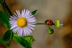 Photo 天道虫(Ladybug) by Kouzou Nakano on 500px