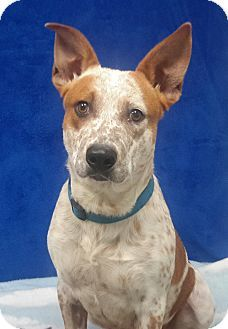 Carthage, NC - Hound (Unknown Type) Mix. Meet Blue, a dog for adoption. http://www.adoptapet.com/pet/11781746-carthage-north-carolina-hound-unknown-type-mix