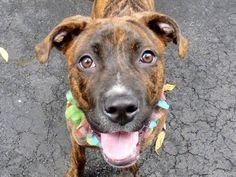 TO BE DESTROYED - 09/13/14 Manhattan Center   My name is MIKA. My Animal ID # is A1012860. I am a female br brindle and white pit bull mix. The shelter thinks I am about 1 YEAR   I came in the shelter as a STRAY on 09/03/2014 from NY 10458, owner surrender reason stated was STRAY.