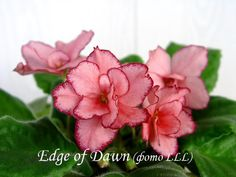 Edge of Dawn | (Eyerdom) Double light coral-pink/red sparkle edge. Light green, plain. Standard.