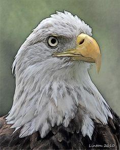 American Bald Eagle Digital Art