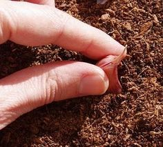 Como plantar alhos em vaso
