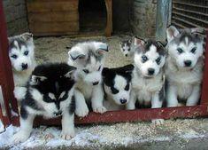 husky puppiess
