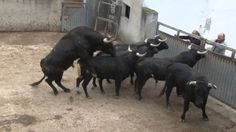 2015 QUATRETONDA 02 HD Ganaderia Benavent Tría de Toros 6 Years, Youtube, Spanish, Animals, Animales, Animaux, Spanish Language, Animal, Animais