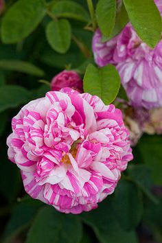 Camaieux - Hybrid Gallica, mauve, double, 1830, rated 8.1 (very good) by ARS.