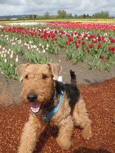 Tip-Toe through the tulips, with Wyatt
