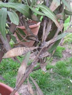 Leander metszése – Nőknek kertről. Minden, Plants, Tea, Home Decor, Decoration Home, Room Decor, Planters, Teas, Plant