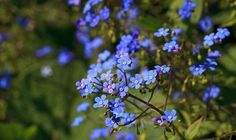 Perennial forget-me-not., taller amd flowers on airy branches, called Brunnera.
