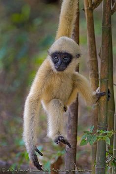 White-Cheeked Gibbon at Khao Kheow Open Zoo, Thailand, by Ashley Vincent. Gibbons are not monkeys. They are part of the ape family, along with Chimpanzees, Gorillas, and Orangutans
