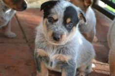 Blue Heelers For Sale : The 46 best australian cattle dog blue heeler red heeler puppies