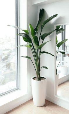Living Room Plants, House Plants Decor, Plant Decor, Living Room Decor, Birds Of Paradise Plant, Plantas Indoor, Corner Plant, Decoration Plante, Plant Design