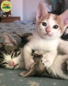 Funny Cute Cats, Cute Baby Cats, Cute Cats And Kittens, Cute Little Animals, Cute Funny Animals, Kittens Cutest, Funny Kittens, Baby Dogs, Big Cats