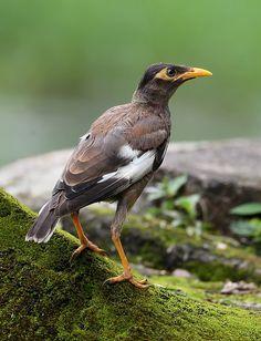 Common Myna (Acridotheres tristis) - juvenile | by Zakir Hassan
