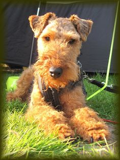 WELTAF (Welsh Terriers & Friends) a group in Britain - great, wish we had one in the Seattle area