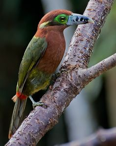 Spot-billed Toucanet(Selenidera maculirostris) photographed by Dario Sanches at Trilha dos Tucanos, Tapirai, SP, Brazil on 4th June 2015