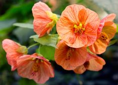 235 Best Flowers Abutilon Images In 2019 Beautiful Flowers