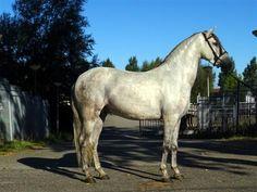 Paarden te koop: Pepito
