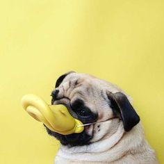 O Pug mais fotogênico que você já viu