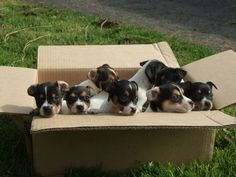 Jack Russel Pups ~  I just got a headache, thinking about a box full of Chloe's!!!! lol