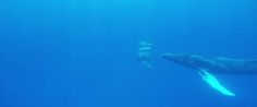 #NEWS #SWD #GREEN2STAY Humpback Whale Swims With Dolphins, Doesn't Quite Blend In