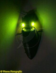 fire beetle eyes eq