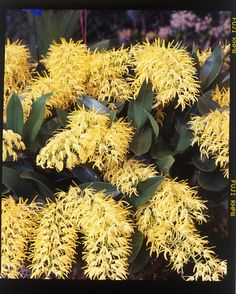 Australian native. Rock Orchid, Dendrobium speciosum ... does anyone have any of this? id love some