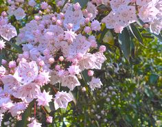 Pink Mountain Laurel In My Garden. by Cynthia Stammers