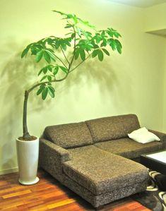 パキラの木の下で。 | HADANA 葉棚の葉っぱのはなしはじめます。