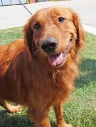Worksheet. Huntley IL  Golden RetrieverIrish Setter Mix Meet Duke a dog