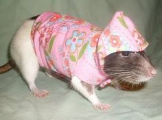 Please note that it sometimes takes a few tries before some rats will keep their clothing on.